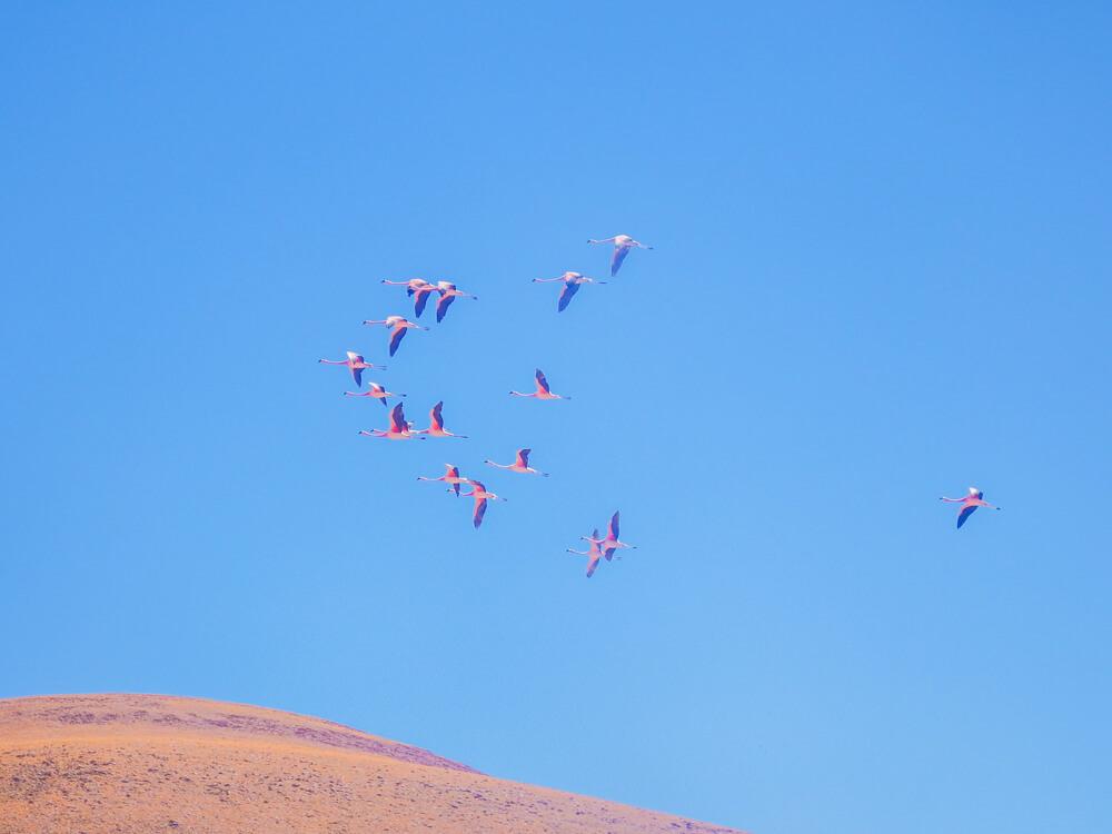 Flamingos - San Pedro de Atacama guide
