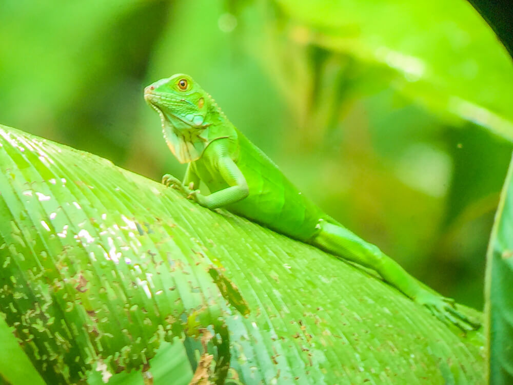 A green lizard, Manuel Antonio guide