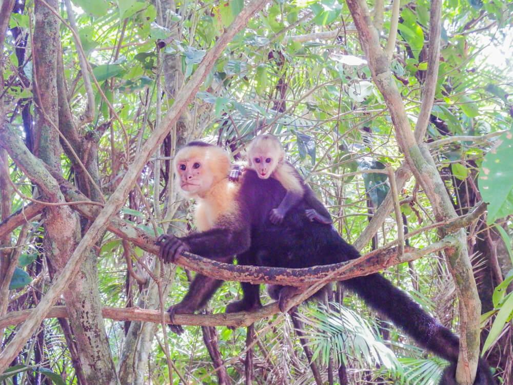 Monkeys in the forest, Manuel Antonio guide