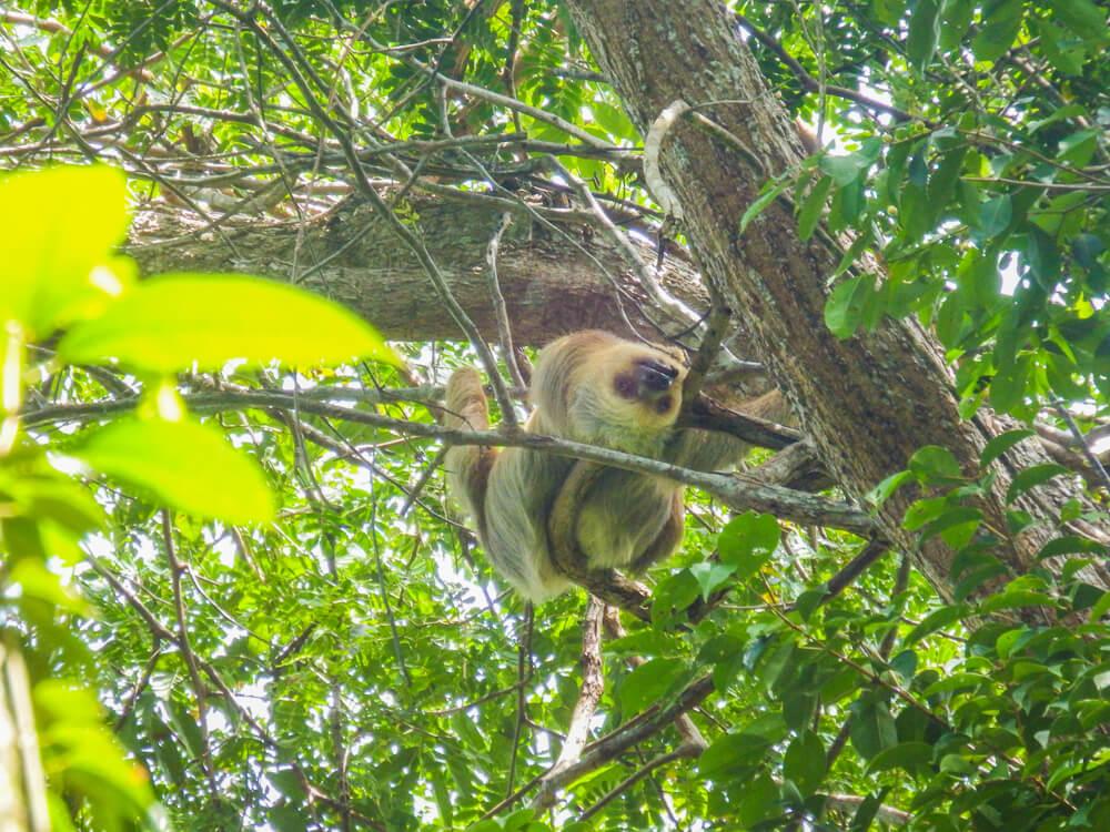 Sloth, Manuel Antonio guide