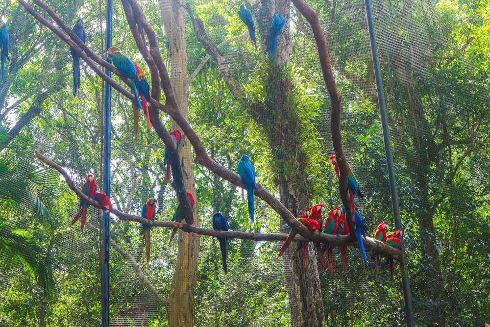 Macaws in Parque de Aves, another attraction to see in Iguazu falls Brazil