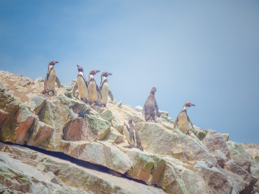 Penguins on the Islas Ballestas tour from Paracas - second stop on your 14 day Peru itinerary