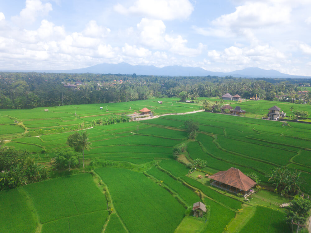 Rice fields - Ubud guide
