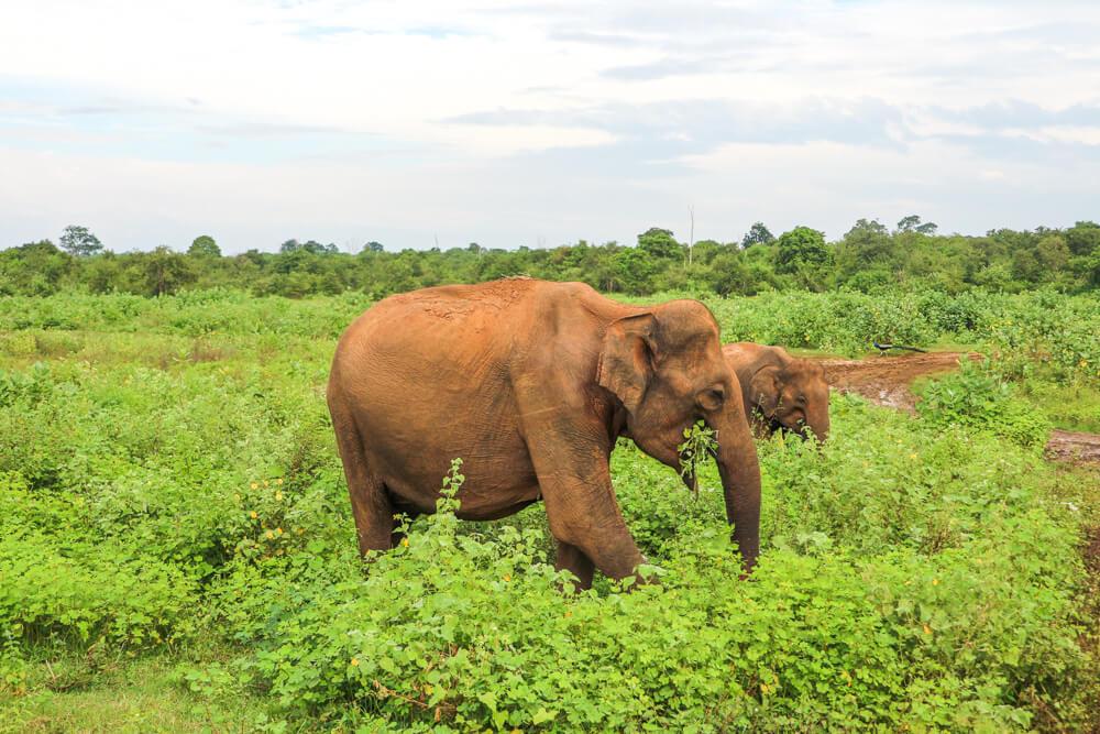 Elephants on safari in Udawalawe, Sri Lanka