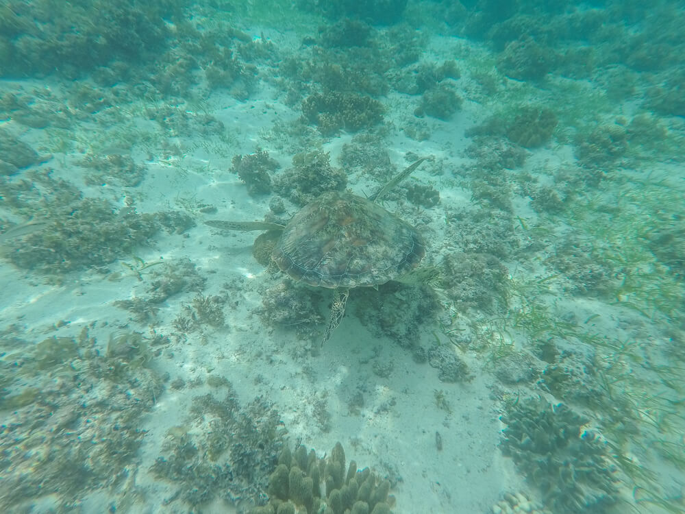 Turtle at Panagsama beach, Moalboal travel guide