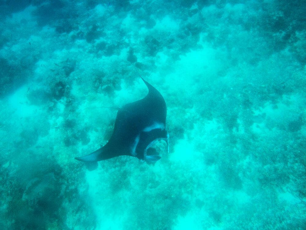 Manta ray - Nusa Penida travel guide