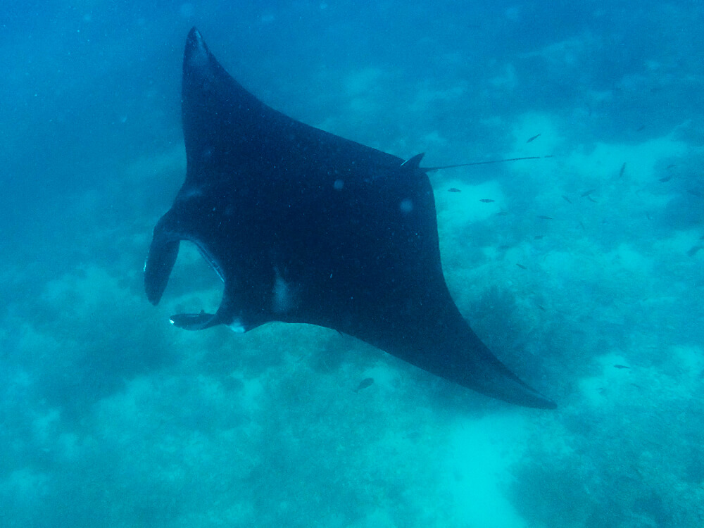 Manta ray at Manta Point - Komodo National Park tour